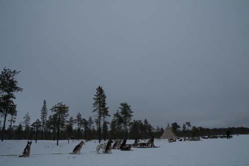 46 Siberian Huskies pausar vid tältkåtan.