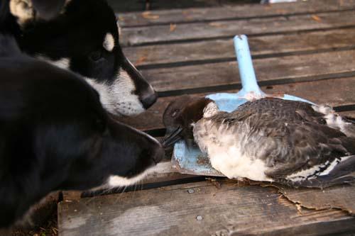 Flippa och Sanoy undersöker en död and.