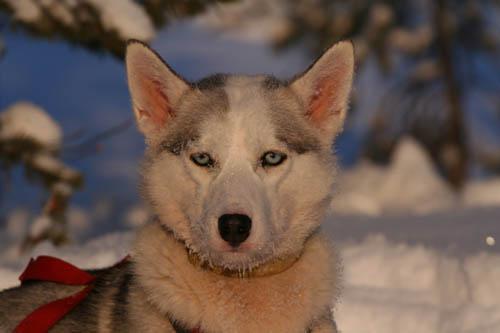 Working Husky Qarla med isblå ögon.
