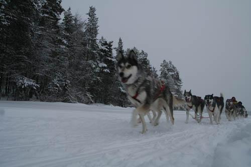 Working Husky Holly leder stinas hundspann med mestadels unghundar.