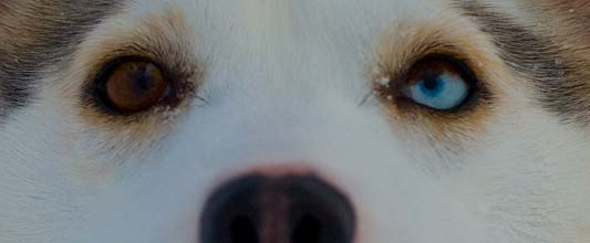 The Siberian Husky Olga