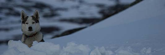 Siberian Husky Fugitives Jason